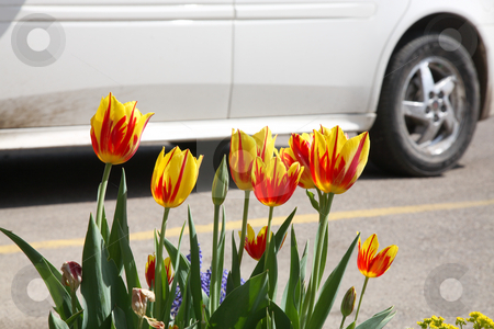Suburbia stock photo, Spring in the suburbs.  A small stand of parrot tulips give way to an urban jungle. by Brenda Carson