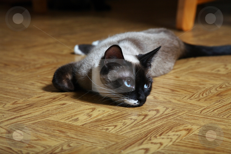 Snowshoe Lynx Point Siamese stock photo, Young female Snowshoe Lynx Point Siamese laying on diningroom floor.  Beautiful and rare Siamese breed. by Brenda Carson