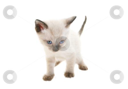 Baby Siamese stock photo, Tiny three week old baby Siamese kitten.  Shot on white background. by Brenda Carson