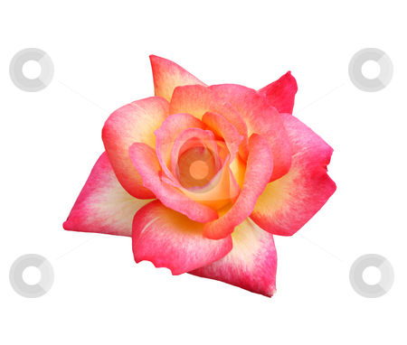 Rainbow Sorbet Rose stock photo, Floribunda hybrid rose:  Rainbow Sorbet.  Hybridized by Ping Lim 1996.  Isolated. by Brenda Carson