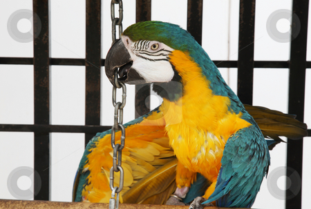 Tricky Macaw stock photo, A slightly scruffy, blue & yellow macaw playfully grabs the chain to make his toy bell ring. by Brenda Carson