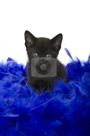 Puss in Poof stock photo, Fuzzy black kitten sitting in a blue boa.  5 weeks old. by Brenda Carson