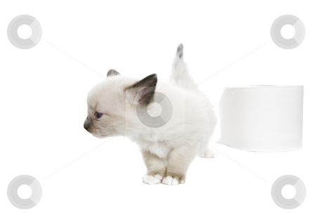 Not Soft Enough stock photo, A purebred, Snowshoe Lynx-Point Siamese kitten turns her nose up at toilet paper that isn't soft enough.  Room for copy. by Brenda Carson