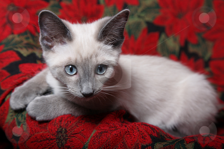 Innocent Eyes stock photo, Sweet and innocent, lilac point Siamese kitten on red poinsettia tapestry chair. by Brenda Carson