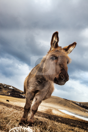 Curious Little Donkey stock photo, A curious, miniature donkey in a winter pasture. by Brenda Carson