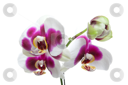Hybrid Orchids stock photo, Hybrid white and magenta orchid on white background. by Brenda Carson