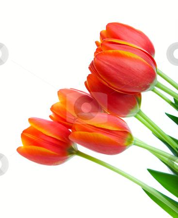 Orange Tulips stock photo, A graceful spray of orange & yellow bi-colored tulips. by Brenda Carson
