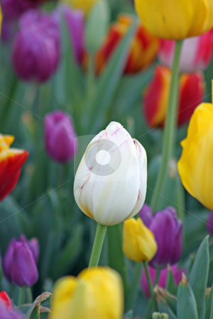White surrounded by color stock photo, A single white tulip surrounded by a multitude of different colored tulips. by Adam Goss