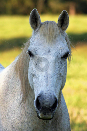 Grey Speckled Nag. stock photo, A close up image of predominantly the head of a pretty grey speckled paddock horse, looking very curious. by Adam Goss