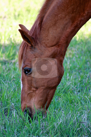 Organic Lunch stock photo, A head and neck image of a brown paddock horse enjoying an afternoon's peaceful grazing. by Adam Goss