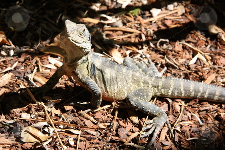 No Fear stock photo, A mature Australian Bearded Dragon Lizard standing fiercely in a sunny spot of his garden patch, eyeballing the photographer. by Adam Goss