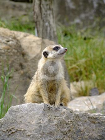 Meerkat stock photo, Meerkat WatchingScientific Classification: Suricata Suricatta by Birgit Reitz-Hofmann