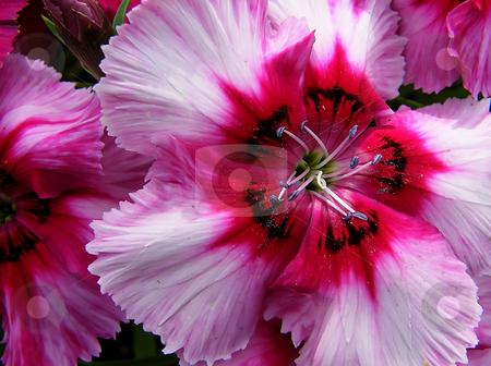 Pink Petunia  stock photo, Pink petunia - Macro by Dazz Lee Photography