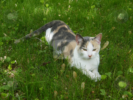Calico Cat In The Grass stock photo, Young Calico Cat In the Grass enjoying an early summer day in the shade. by Dazz Lee Photography