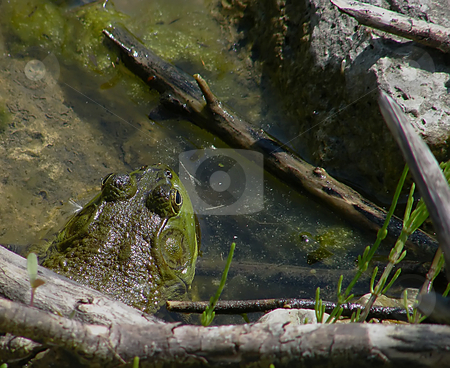 Big Green North American Bullfrog  stock photo, Big Green North American Bullfrog on the rocks, near the edge of a pond edge, in the water. by Dazz Lee Photography