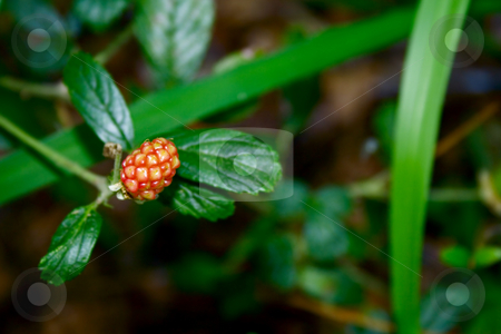 Blackberry stock photo, Single wild blackberry not yet ripe by Ira J Lyles Jr