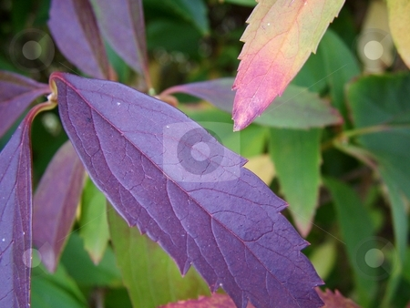 Leafy Background stock photo, Close up of the leaves texture displaying autumn colors with natural background. by Krystal McCammon