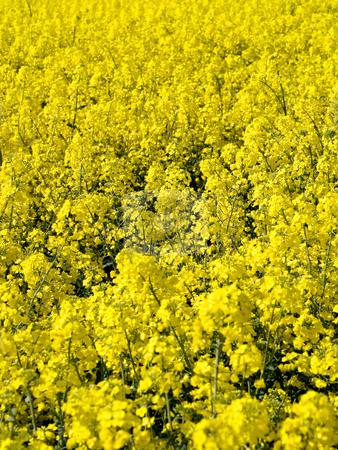 Blooming rapeseed field stock photo, Rapeseed field closeup by Laurent Dambies