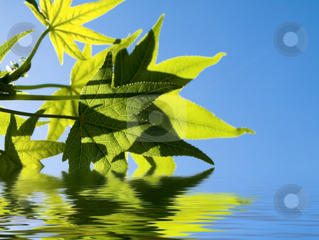 Green leaves stock photo, Liquidambar green leaves at spring with water reflection by Laurent Dambies