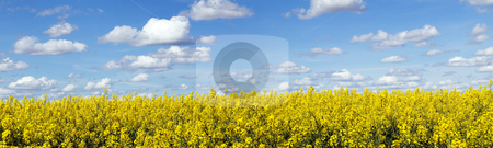 Rapeseed field panoramic landscape stock photo, Panoramic landscape of a rapeseed field under blue sky by Laurent Dambies