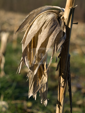 Dry corn stalk stock photo, Dry corn stalk with empty ear by Laurent Dambies