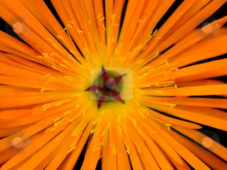 Orange flower macro stock photo, Beautiful orange flower macro isolated on black by Laurent Dambies