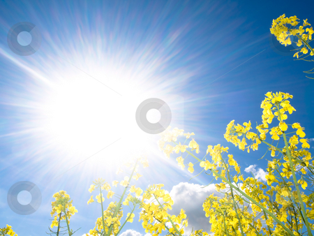 Rapeseed field at spring stock photo, Rapeseed field at spring with sparkling sun by Laurent Dambies