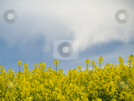 Colza or canola field under stormy sky stock photo, Colza or canola field under stormy sky at spring by Laurent Dambies