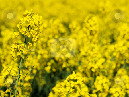 Rapeseed closeup stock photo, Yellow rapeseed closeup at spring by Laurent Dambies