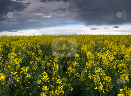 Colza or Canola field stock photo, Colza or canola field under stormy sky at spring by Laurent Dambies