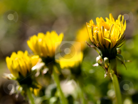 Dandelion flowers stock photo, Yellow dandelion flowers at spring by Laurent Dambies