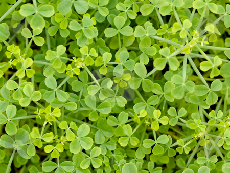 Clover background stock photo, Macro of a beautiful clover field by Laurent Dambies