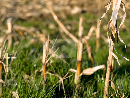 Dry corn stacks stock photo, Dry corn stacks in winter by Laurent Dambies