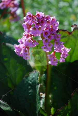 Pink flower stock photo, Picture of a pink flower in the garden by Sarka