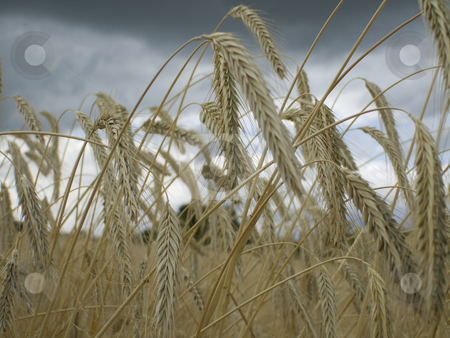 Field stock photo, Close-up of a rye ears under clouded sky by Birgit Reitz-Hofmann