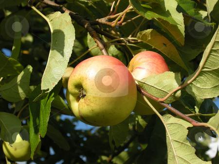 Apple tree stock photo, Detail from a apple tree. Shot outdoor. by Birgit Reitz-Hofmann