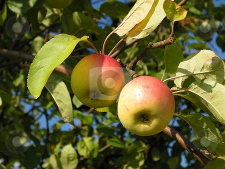Apples stock photo, Detail from a apple tree. Shot outdoor. by Birgit Reitz-Hofmann