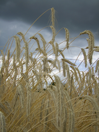 Agriculture stock photo, Close-up of rye ears under clouded sky by Birgit Reitz-Hofmann