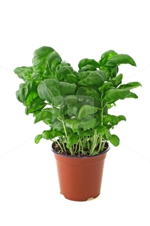 Basil plant stock photo, Basil in a pot on bright backround by Birgit Reitz-Hofmann