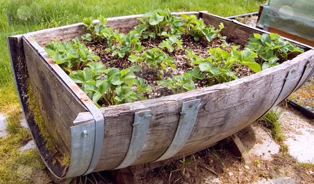 Closeup Half Barrel Filled With Strawberry Plants stock photo, This antique barrel cut in half also serves as a rustic strawberry patch for a unique idea for gardeners. by Valerie Garner
