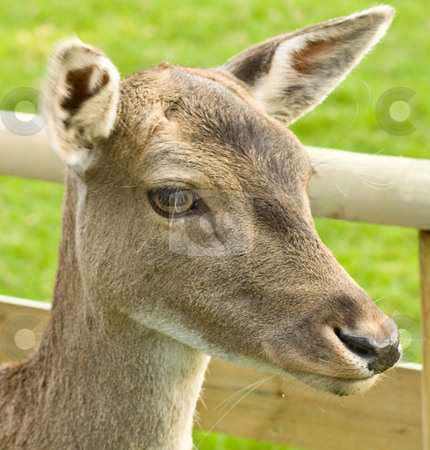 Portrait of a Deer stock photo,  by MWilkinson Photography