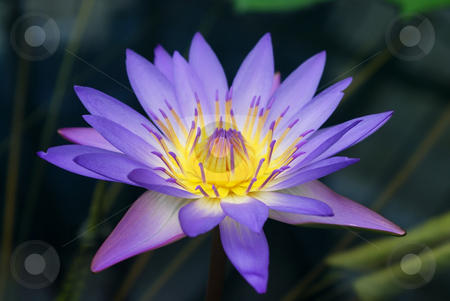 Water Lily stock photo, Purple and yellow water lily rising from the pond. by Denis Radovanovic