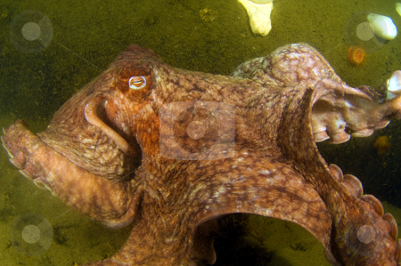 Giant Pacific Octopus 2 stock photo,  by Greg Amptman
