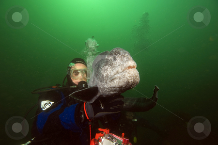 Diver with Wolf Eel stock photo,  by Greg Amptman
