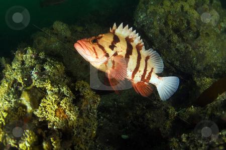 Tiger Rock Fish stock photo,  by Greg Amptman