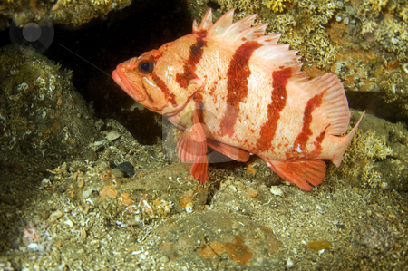 Tiger Rock Fish 3 stock photo,  by Greg Amptman