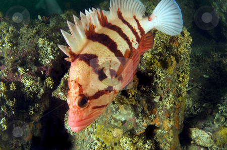 Tiger Rock Fish 2 stock photo,  by Greg Amptman