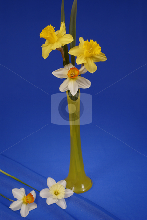 Flower stock photo, Bouquet of colourful jonquils made on blue background by Jolanta Dabrowska