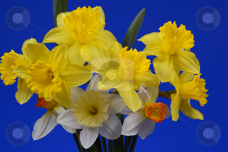 Flower stock photo, Bouquet of yellow jonquils made on blue background by Jolanta Dabrowska
