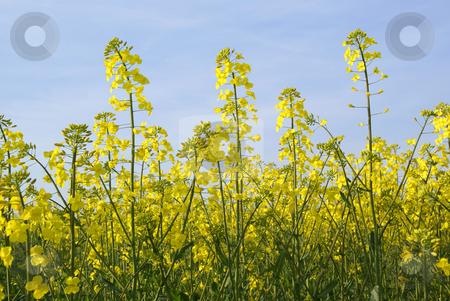 Rape stock photo, Field full of bloomed yellow rape flowers by Jolanta Dabrowska